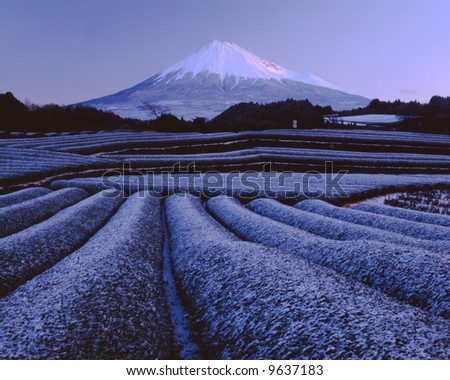 Snow green tea fields at the foot of Mt. Fuji - stock photo
