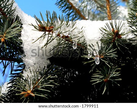Snow icicle on pine tree december stock photo