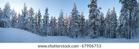 Snow in trees middle of the winter and middle of the forest. - stock photo