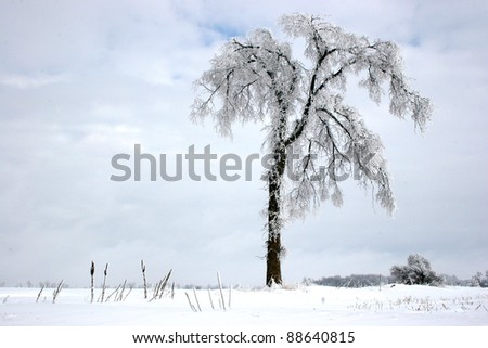 snow laden elm trees along an abandoned farm driveway - stock photo