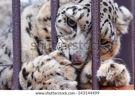 snow leopard in captivity - stock photo