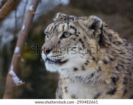snow leopard, irbis - stock photo