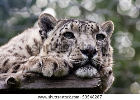Snow leopard looking bored