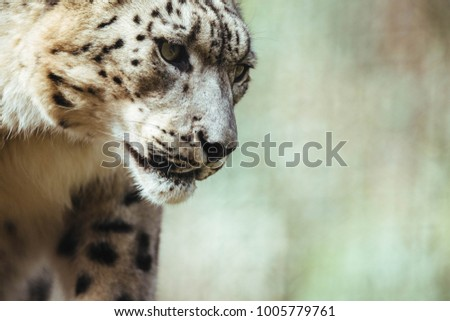 Snow leopard looking down