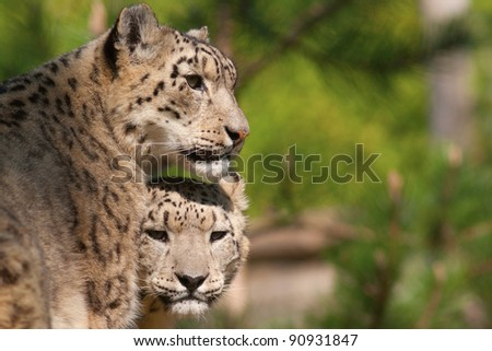 Snow Leopard - mother and cub