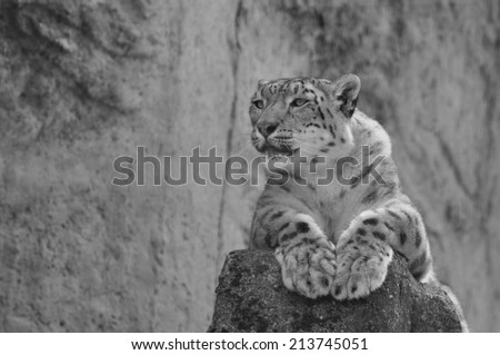Snow leopard observing it's territory