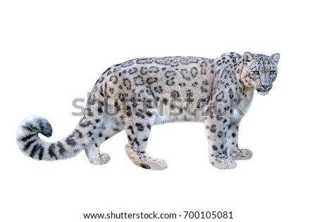 Leopard Stock Images RoyaltyFree Images Vectors Shutterstock
