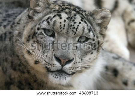 Snow leopard face side - photo#38