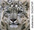 snow leopard's portrait - stock photo