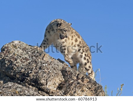 Snow leopard views its domain and searches for prey from atop a rocky ledge in the forest. - stock photo