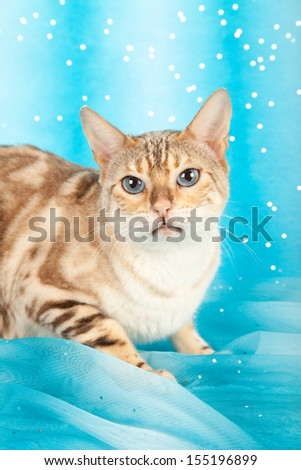 Snow Marble Bengal cat on blue background - stock photo