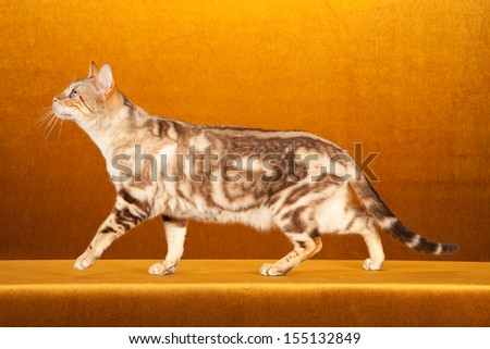 Snow marble Bengal cat on gold background - stock photo