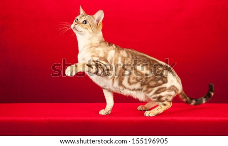 Snow marble Bengal cat on red background - stock photo