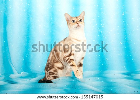 Snow marble Bengal sitting on blue striped background   - stock photo