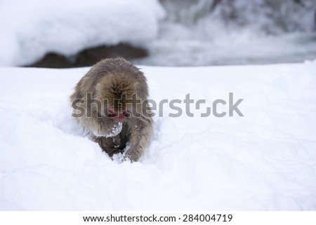 Snow Monkey finding food on show at Jigokudani Onsen in Nagano, Japan