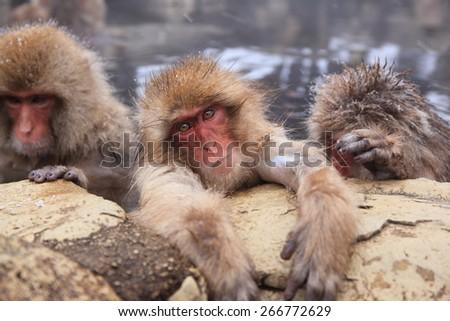 Snow monkey in hot spring, Jigokudani, Nagano, Japan - stock photo