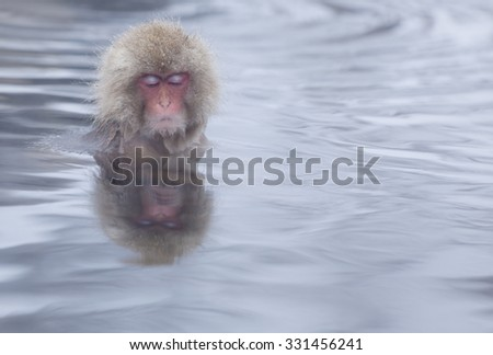 Snow monkey (Japanese Macaque) in the onsen hot springs of Nagano, Japan. - stock photo