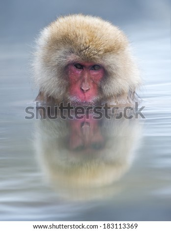 Snow monkey (Japanese macaque) relaxing in a hot spring pool  - stock photo