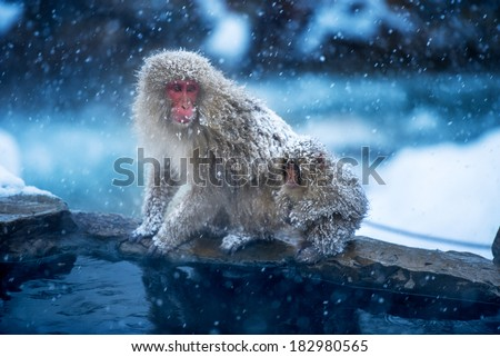 Snow Monkeys, Japan - stock photo