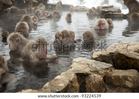 snow monkeys or japanese macaques at jigokudani onsen, japan. enjoying the warmth of the natural hot springs in the area - stock photo