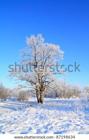 snow oak on winter field - stock photo
