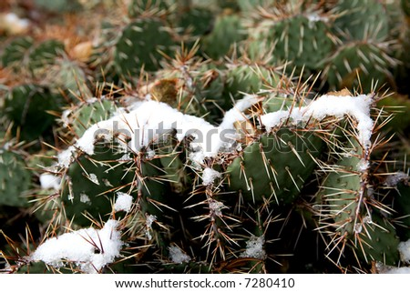 Snow on a cactus. - stock photo