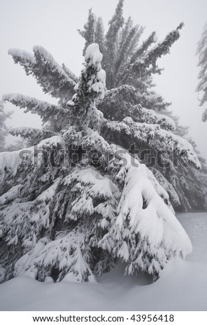 Snow on pin tree, Areches