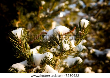 Snow on pinion pine in New Mexico. - stock photo