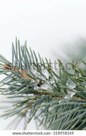 snow on the branch of a blue spruce - stock photo