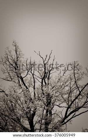 Snow on the trees in winter, sepia