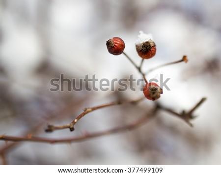 snow on the wild rose winter - stock photo