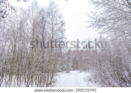 Snow on trees at young winter forest - stock photo