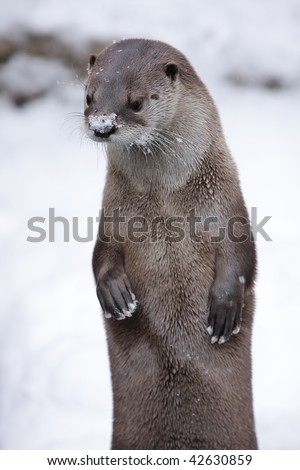 Snow Otter. Otter outside with snow on nose. Vertical format. - stock photo