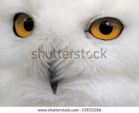 Snow Owl - stock photo