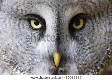 snow owl portrait - stock photo
