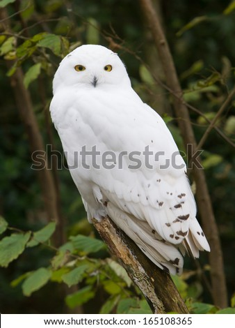 Snow owl resting in it's natural habitat - stock photo
