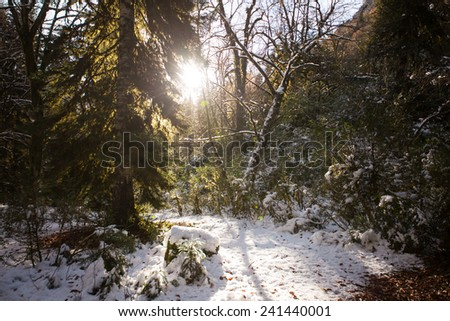 Snow Pine Forest With Sun - stock photo