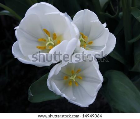 Snow White Tulips - stock photo