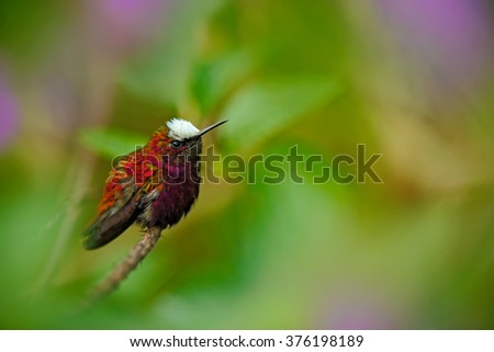 Snowcap, Microchera albocoronata, rare hummingbird from Costa Rica, red-violet bird sitting in beautiful pink flowers, scene at green tropical forest, animal in the nature habitat, Turrialba - stock photo