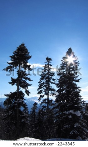 Snowcovered pines and sun of winter - stock photo