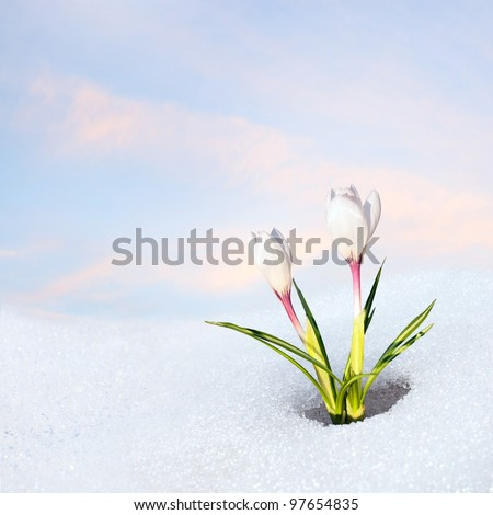 snowdrop crocus at blooming in snow - stock photo