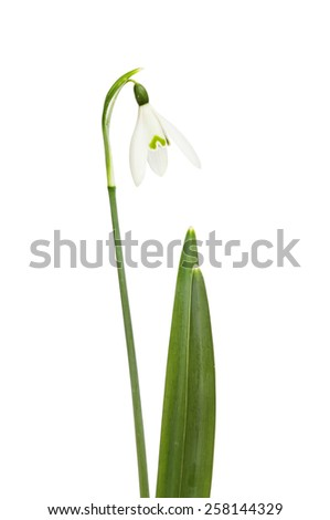 Snowdrop flower and foliage isolated against white - stock photo
