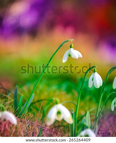 snowdrop flower in the sunlight on the lawn in spring forest - stock photo