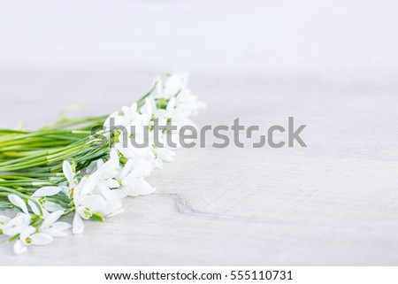 Snowdrop flowers isolated on wood background, Delicate Snowdrop flower is one of the spring symbols.