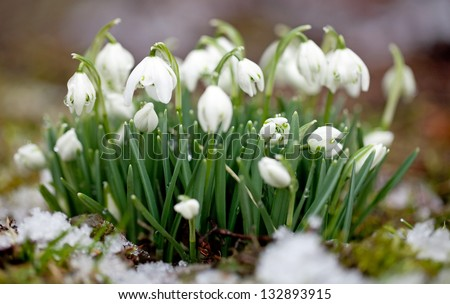 Snowdrop flowers with snow - stock photo