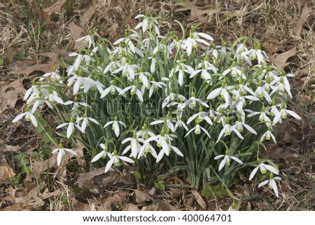 Snowdrop (Galanthus nivalis). Called Common snowdrop also. - stock photo