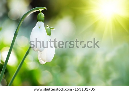 Snowdrop- spring white flower with bright shiny sun - stock photo