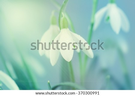 Snowdrop- spring white flower with bright shiny sun. - stock photo