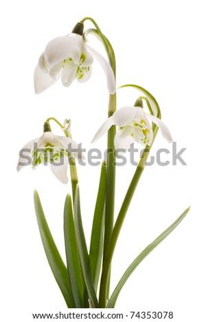 Snowdrop- spring white flower with white background - stock photo