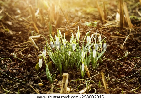 snowdrops flowers in golden sunshine - stock photo